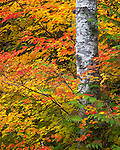 Mount Baker-Snoqualmie National Forest, Washington: Red alder (Alnus rubra) trunk with fall colors of vine maple (acer circinatum) branches
