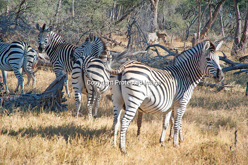 Zebra Family Posing in the Savanna of Hwange National Park in Zimbabwe