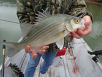NWA Democrat-Gazette/FLIP PUTTHOFF <br /> White bass are starting their spawning run up the tributaries of Beaver Lake, and up the White River from Table Rock Lake. Roy Clark, a fishing guide from Eureka Springs, caught this white bass Friday March 20 2015 at the White River below Beaver Dam while trolling with crank baits. April is prime white bass month on either waterway.