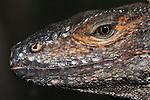 Black Spiny-Tailed Lizard, Ctenosaura similis