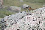 Least chipmunk, Neotamias minimus, rodent, wildlife, granite boulder, above Lake Louise, summer, high elevation, August, afternoon, Rocky Mountain National Park, Colorado, USA