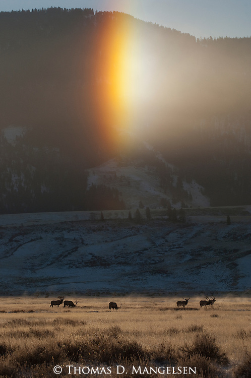 Elk feed on the National Elk Refuge in Wyoming, while a sundog is visible overhead in the winter morning sunlight.