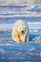 Polar bear walks on the sea ice forming on the Beaufort Sea, Arctic National Wildlife Refuge, Alaska.