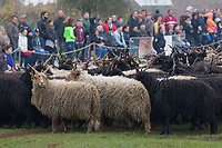 A flock of racka sheep is seen during a celebration of the end of the grazing season in the Great Hungarian Plains in Hortobagy, 200 km (124 miles) east of Budapest in Hortobagy, Hungary on Oct. 21, 2017. ATTILA VOLGYI