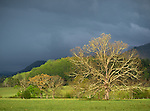 Great Smoky Mountains National Park, Tennessee:<br /> Evening sunlight on a solitary oak tree underomnious clearing storm clouds in <br /> Cades Cove, early spring
