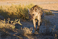 Spotted hyena approaching