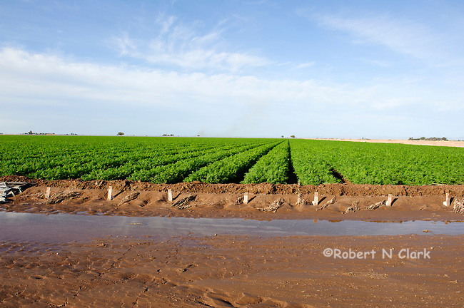 Carrot fields in the Imperial Valley, CA
