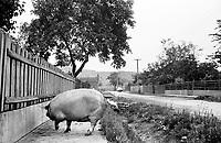 UNGARN, 07.1989.Miskolc-Diosgyor (korrekter: Di--sgy?r).Alltag vor dem Systemwechsel:  Hausschwein auf der Strasse. .Everyday life before the system change:  Domestic pig in the street..© Martin Fejer/EST&OST