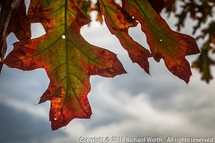 In the midst of fall transformation, leaves are green near their center, but red, autumn red, at their edges