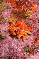 QX72318-D. Puget Sound King Crab (Lopholithodes mandtii), juvenile. Washington, USA, Pacific Ocean.<br /> Photo Copyright &copy; Brandon Cole. All rights reserved worldwide.  www.brandoncole.com