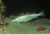 Wittling, Merlan, Merlangius merlangus, whiting