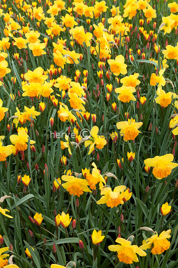 Hollande, région des champs de fleurs, Lisse, Keukenhof, massif jaune de narcisse 'Suada' et tulipe 'Tubergen's Gem'  .(Tulipa chrysantha 'Tubergen's Gem' = Tulipa clusiana var. chrysantha 'Tubergen's Gem') // Yellow flowerbed with daffodils 'Suada' and tulips 'Tubergen's Gem'  .(Tulipa chrysantha 'Tubergen's Gem' = Tulipa clusiana var. chrysantha 'Tubergen's Gem')