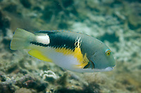 Anchor Tuskfish, Choerodon anchorago, male, Wainilu dive site, Rinca Island, Komodo National Park, Indonesia, Indian Ocean