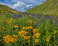 San Juan Mountains, CO<br /> Sneezeweed (Dugaldia hoopesii) and delphinium (Delphinium barbeyi) in an alpine meadow under summer skies