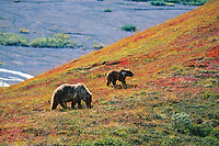 Grizzly bear sow and spring cub, Denali National Park, Alaska.