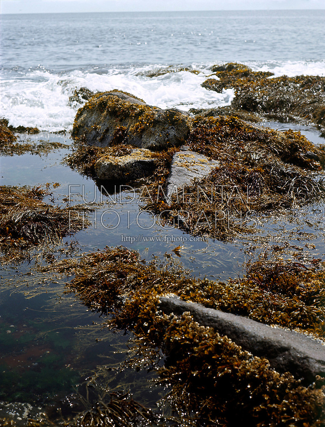 TIDAL POOL WITH KNOTTED WRACK<br />