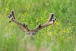 Large Mule Deer Buck in Velvet