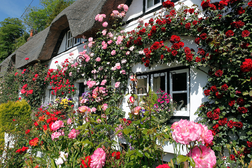 Great Britain, England, Hampshire, Wherwell: Shepherds Cottage with Summer Roses
