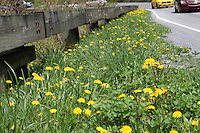 Beautiful yellow common hawkweed wildflowers grow along the fence on the newfound gap road as colorful cars pass by in the great smoky mountain national park, Tennessee, America - Stock image.