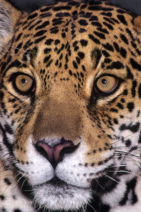650359047 portrait of a wildlife rescue jaguar panthera onca at a wildlife rescue facility -species is highly endangered in its wild habitat in mexico central and south america -