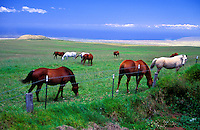 Polo horses grazing near the saddle road, Big island of Hawaii