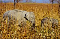 Asian elephant or Indian elephant (Elephas maximus) cow with young calf, Kaziranga National Park, India