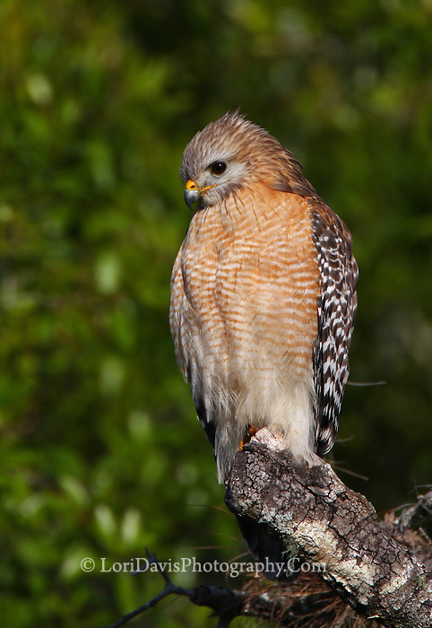 Red-Shouldered Hawk #B53