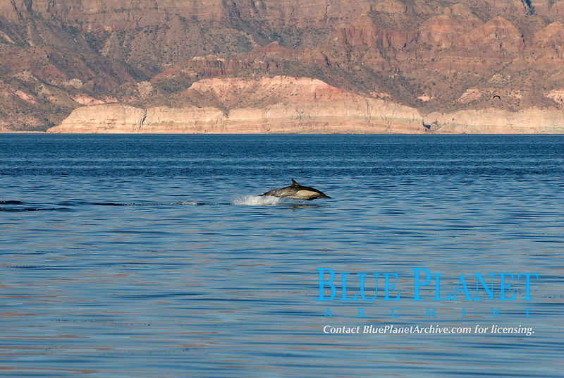 Common dolphin (delphinus delphis) Gulf of California.A lone common dolphin dashing along the coast., Baja California, Mexico, Pacific Ocean