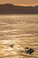 long-beaked common dolphin, Delphinus capensis, mother, calf, leaping, jumping, sunset, Isla Danzante, Baja California Sur, Mexico, Pacific Ocean