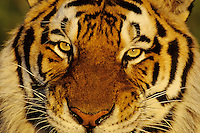 Siberian tiger (Panthera tigris altaica), Endangered Species