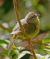 Adult male orange-crowned warbler