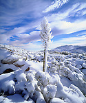 USA, California, A snow covererd yucca in Anza Borrego Desert State Park, CA
