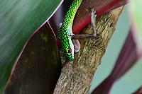 Cobra cip&oacute; captura sapo.Cobra-cip&oacute; &eacute; o nome popular das serpentes do g&ecirc;nero Chironius. Tamb&eacute;m &eacute; conhecida pelo nome boiobi, que &eacute; de origem tupi e que significa &quot;cobra verde&quot;, atrav&eacute;s da jun&ccedil;&atilde;o dos termos mbo&icirc;a (&quot;cobra&quot;) e oby (&quot;verde&quot;).[1]<br /> Acre<br /> Foto Altino Machado<br /> <br /> <br /> A colora&ccedil;&atilde;o da maioria das esp&eacute;cies do g&ecirc;nero &eacute; uma mistura de tons de verde, vermelho e laranja, com olhos amarelos e negros.<br /> <br /> Essas esp&eacute;cies s&atilde;o muito agitadas e velozes. Geralmente, fogem no momento em que s&atilde;o avistadas. S&atilde;o muito ariscas e podem morder caso impe&ccedil;am sua fuga. Sua colora&ccedil;&atilde;o as ajuda a confundirem-se com o ambiente, principalmente por passarem a maior parte do tempo nas &aacute;rvores e arbustos (da&iacute; o nome popular &quot;cobra-cip&oacute;&quot;, pois elas realmente lembram cip&oacute;s ao repousarem em plantas). Atingem cerca de 1,20 metros, sendo serpentes muito finas e relativamente compridas. Alimentam-se de lagartos, p&aacute;ssaros e pererecas.<br /> <br /> A reprodu&ccedil;&atilde;o &eacute; ov&iacute;para. P&otilde;em entre quinze e dezoito ovos com o nascimento previsto para o in&iacute;cio da esta&ccedil;&atilde;o chuvosa.