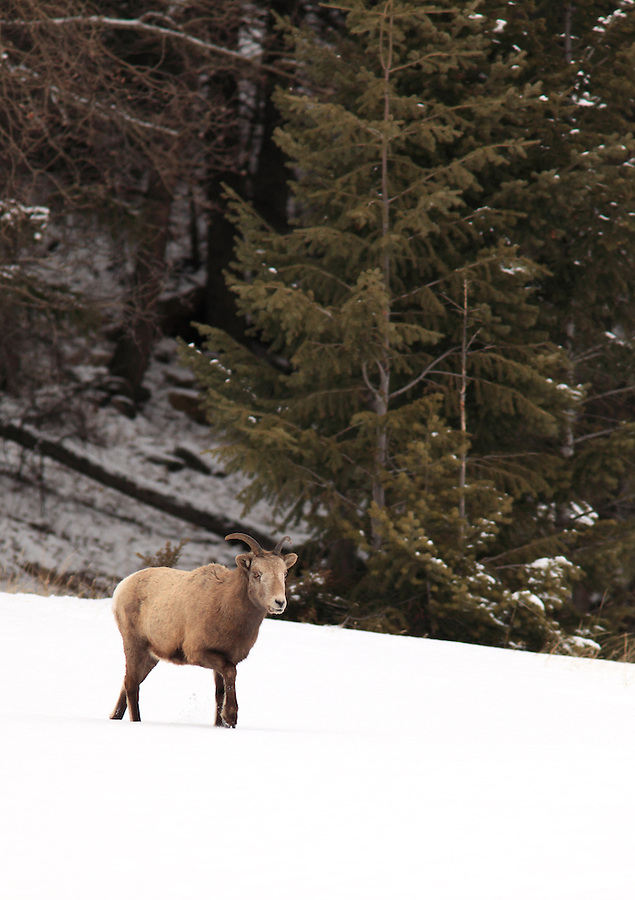 A ewe  stands in a field of snow in Banff National Park, Alberta, Canada.