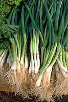 Bundles of green onions or shallots on display at farmers market.  St Paul Minnesota USA