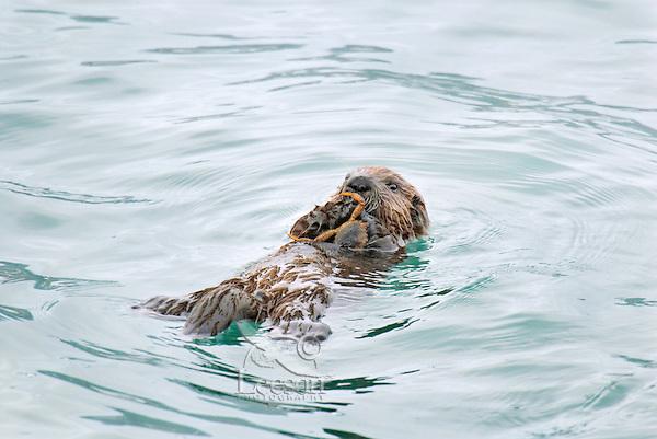Sea Otter (Enhydra lutris) pup eating crab.