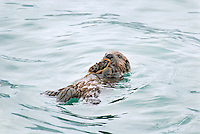 Sea Otter (Enhydra lutris) pup eating crab.