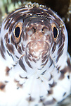 Spotted moray: Gymnothorax moringa, head on view
