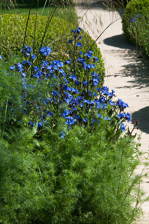 Anchusa azurea 'Loddon Royalist', The Daily Telegraph Garden, gold medal winner at the Chelsea Flower Show, 2014. Designed by Paul Gazerwitz and Tommaso del Buono.