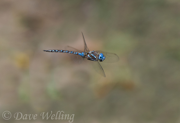 339360076 a wild male blue-eyed darner rhionaeschna multicolor in flight over small creek at empire cienega natural conservation area pima county arizona