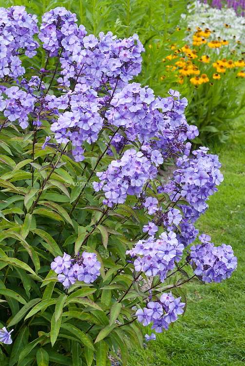 Phlox paniculata 'Blue Paradise' incredibly fragrant scented blue flowers perennial garden plant