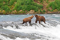 Two brown bears fight for a top spot at the McNeil River Falls,  in Alaska's McNeil River State Game Sanctuary.