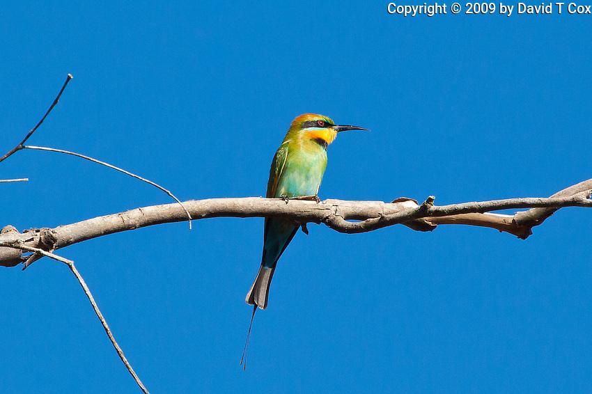 Rainbow Bee-Eater, Mareeba, Queensland, Australia