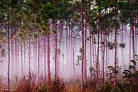 Mist among pine trees at sunrise<br /> Everglades National Park, FL