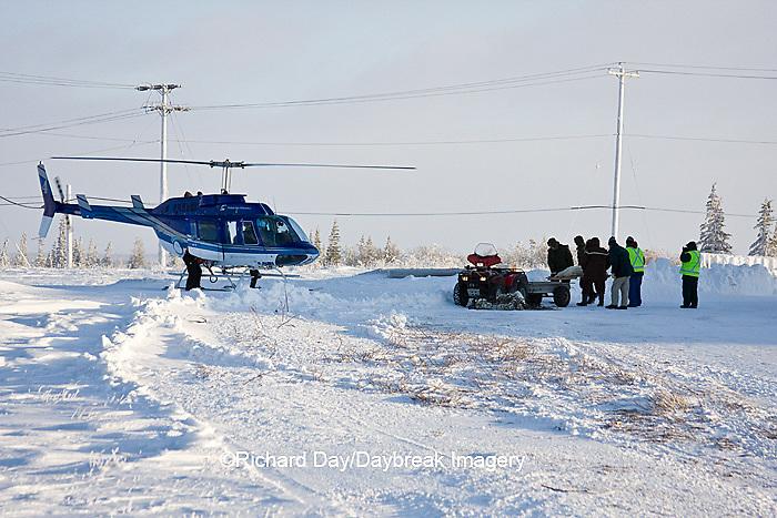 01874-11717 Polar Bear (Ursus maritimus) biologists preparing to airlift bear from Polar Bear Compound, Churchill MB