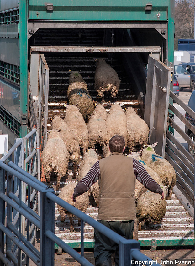 Loading sheep on to a livestock lorry, Newark Livestock Market, Newark, Nottinghamshire.