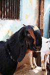 Goat-Bazaar in Taj Ganj, Agra