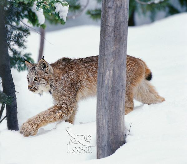 Lynx or Canadian Lynx (Lynx canadensis).