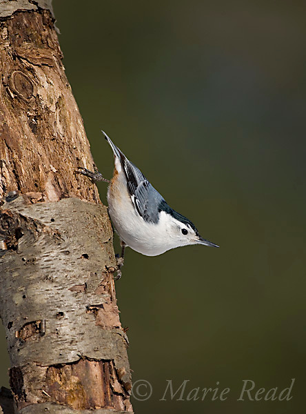 White-breasted Nuthatch (Sitta carolinensis) male clinging to a treetrunk, New York, USA