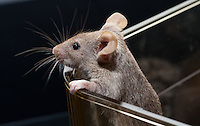 A female agouti mouse with what seems like multiple lengths of fur on her face peers over the edge of a plastic lab cage while holding on with her front paws.